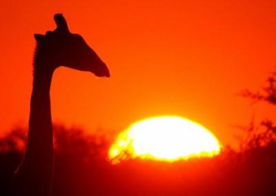 Giraffe-im-Sonnenunterganf