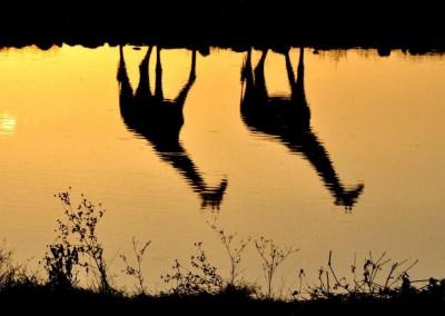 Giraffen-am-Wasser