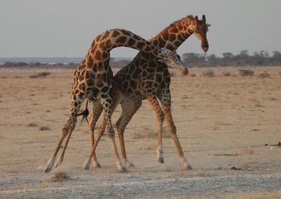 Giraffen1