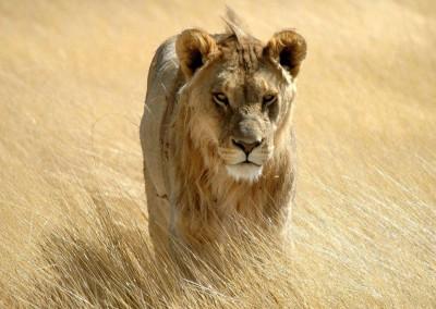 Löwe-im-Etosha-Nationlapark