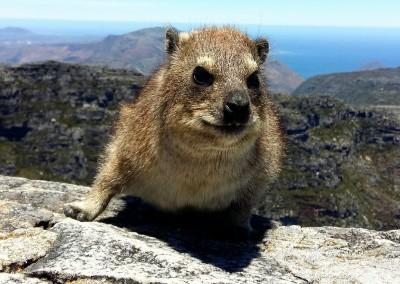 Klieppschliefer, Tafelberg